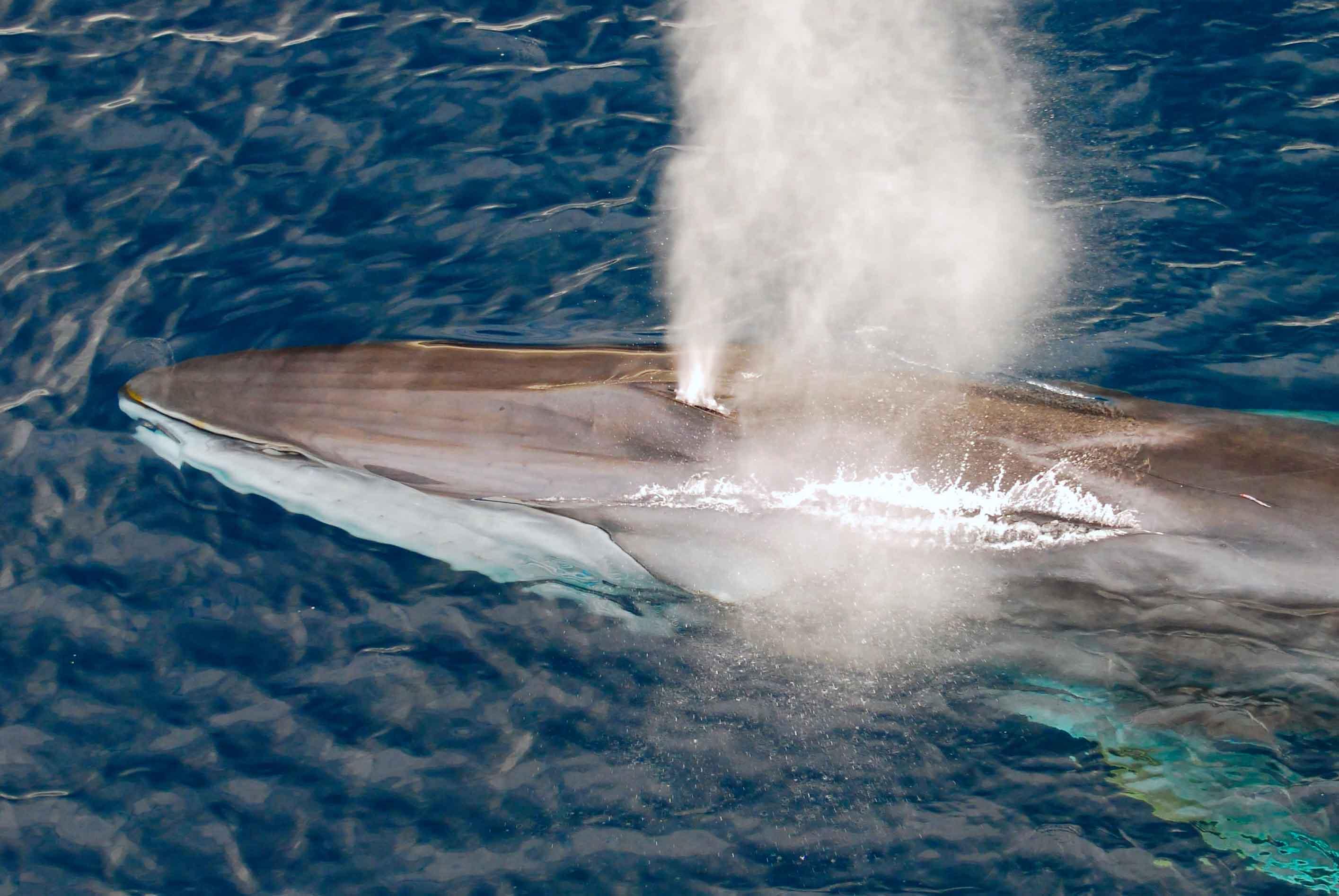 tête de baleine