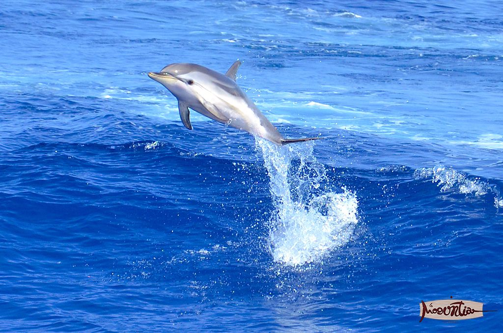 Dolphin playing in front of the ship